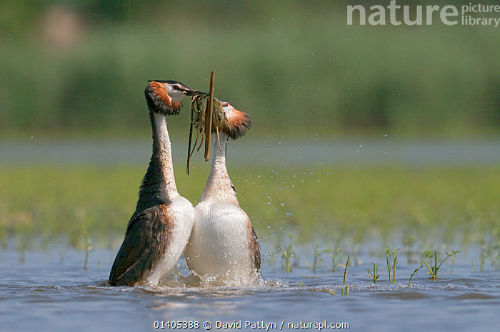 Great Crested grebes (Podiceps cristatus) performing courtship dance and exchanging weed as part of ritual, La Dombes area, France, June, BEHAVIOUR,BIRDS,COURTSHIP,DANCING,DISPLAY,EUROPE,EXCHANGE,FRANCE,GREBES,INTERACTION,MALE FEMALE PAIR,MATING BEHAVIOUR,PODICIPEDIDAE,RITUAL,SYNCHRONISED,VERTEBRATES,WATER,WATERFOWL,WEED,Communication, David Pattyn