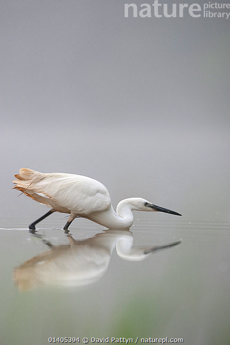 Little Egret (Egretta garzetta) in a hunting posture while stalking to catch small fish, La Dombes lake area, France, June, ARDEIDAE,BIRDS,COPYSPACE,EUROPE,FISHING,FRANCE,HERONS,HUNTING,LAKES,PROFILE,VERTEBRATES,VERTICAL,WATER,Catalogue5, David Pattyn