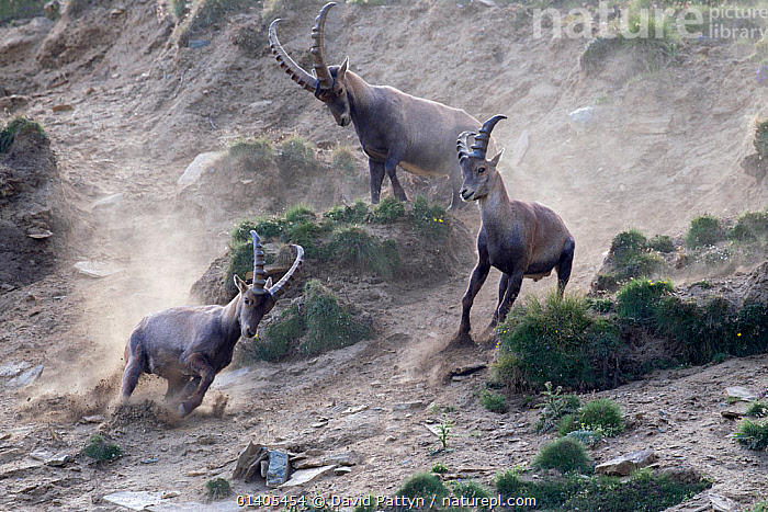 Alpine ibex (Capra ibex) adult male chasing two young males away, Gran Paradiso National Park, Italy, July  ,  ACTION,ARTIODACTYLA,BEHAVIOUR,BOVIDAE,CHARGING,CHASING,DISPLAY,DOMINANCE,DUST,EUROPE,GOATS,GROUPS,HIGHLANDS,IMMATURE,INTERACTION,ITALY,JUVENILE,MALES,MAMMALS,NATIONAL PARK,NP,RESERVE,SUBADULT,TERRITORIAL,THREE,VERTEBRATES,Communication,Catalogue5,Hierarchy,Hierarchical,,Nature reclamation  ,  David Pattyn