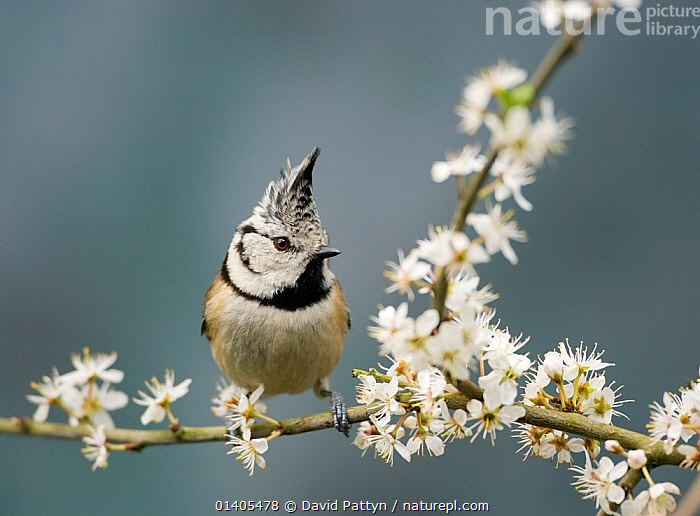 Crested tit (Lophophanes cristatus) on a flowering blackthorn branch, Oisterwijk, The Netherlands, April, BIRDS, EUROPE, HOLLAND, netherlands, Paridae, PORTRAITS, songbirds, SPRING, TITS, VERTEBRATES, David Pattyn