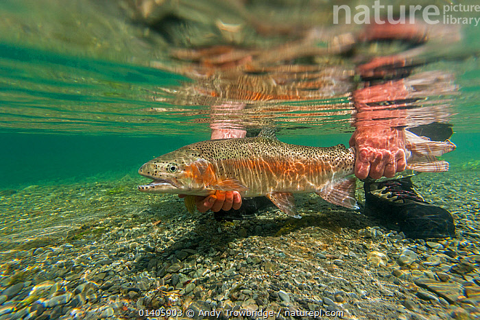 Underwater view of rainbow trout (Oncorhynchus mykiss) being released by a fly fisherman in a small spring fed stream, North Canterbury, South Island, New Zealand. December, 2011.  ,  AUSTRALASIA,FISH,FISHING,FRESHWATER,NEW ZEALAND,OSTEICHTHYES,SPORTS,STEELHEAD,UNDERWATER,VERTEBRATES,WATER,Catalogue5  ,  Andy Trowbridge