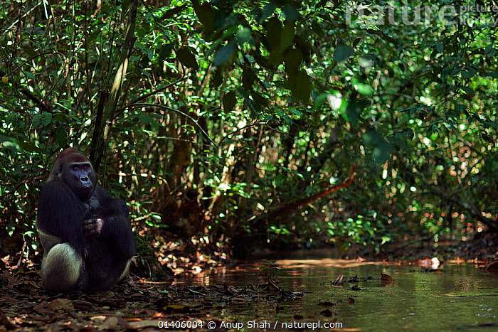 Western lowland gorilla (Gorilla gorilla gorilla) dominant male silverback 'Makumba' aged 32 years sitting by a river in forest interior, Bai Hokou, Dzanga Sangha Special Dense Forest Reserve, Central African Republic. December 2011., AFRICA,CAR,CENTRAL AFRICA,ENDANGERED,FORESTS,GREAT APES,HABITAT,HOMINIDAE,INTERIOR,MALES,MAMMALS,PRIMATES,RESERVE,RIVERS,SILVERBACK,SITTING,STREAMS,TROPICAL,TROPICAL RAINFOREST,TROPICS,VERTEBRATES,WATER, Anup Shah