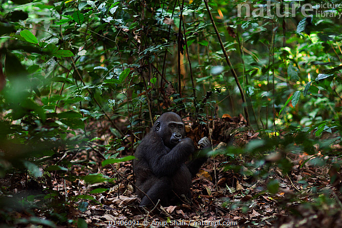 Western lowland gorilla (Gorilla gorilla gorilla) juvenile male 'Tembo' aged 4 years feeding while sitting on the forest floor, Bai Hokou, Dzanga Sangha Special Dense Forest Reserve, Central African Republic. December 2011., AFRICA,CAR,CENTRAL AFRICA,ENDANGERED,FEEDING,FLOOR,FORESTS,GREAT APES,HABTIAT,HOMINIDAE,INTERIOR,JUVENILE,MALES,MAMMALS,PRIMATES,RESERVE,SITTING,TROPICAL,TROPICAL RAINFOREST,TROPICS,VERTEBRATES,YOUNG, Anup Shah