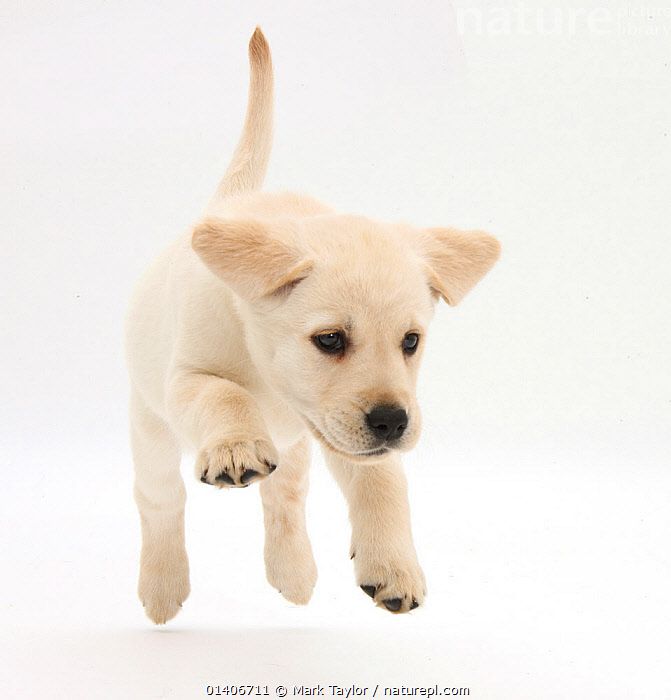 Yellow Labrador Retriever puppy, 8 weeks running., BABIES,Canidae,CUTE,CUTOUT,DOGS,gundogs,JUMPING,large dogs,PETS,playful,PORTRAITS,RUNNING,Studio,VERTEBRATES,WHITE,white background,Canids, Mark Taylor