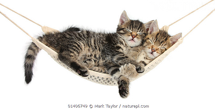 Two cute tabby kittens, Stanley and Fosset, 7 weeks, sleeping in a hammock., BABIES,CATS,CUTE,CUTOUT,felidae,FRIENDS,HUMOROUS,PETS,PORTRAITS,RELAXATION,SLEEPING,Studio,two,VERTEBRATES,WHITE,white background,Concepts,Catalogue5, Mark Taylor