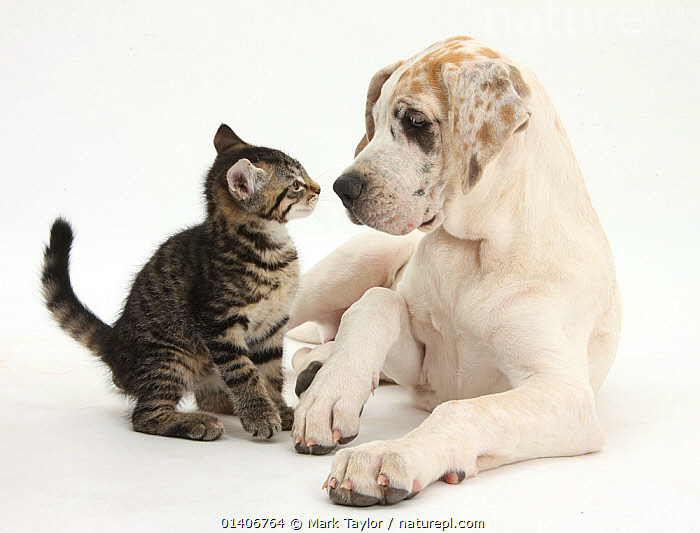 Tabby kitten, Fosset, 10 weeks, with Great Dane puppy, Tia, 14 weeks. NOT AVAILABLE FOR BOOK USE  ,  BABIES,Canidae,CATS,CUTE,CUTOUT,DOGS,extra large dogs,felidae,FRIENDS,MIXED SPECIES,PETS,PORTRAITS,Studio,two,VERTEBRATES,WHITE,white background,working dogs,Canids  ,  Mark Taylor