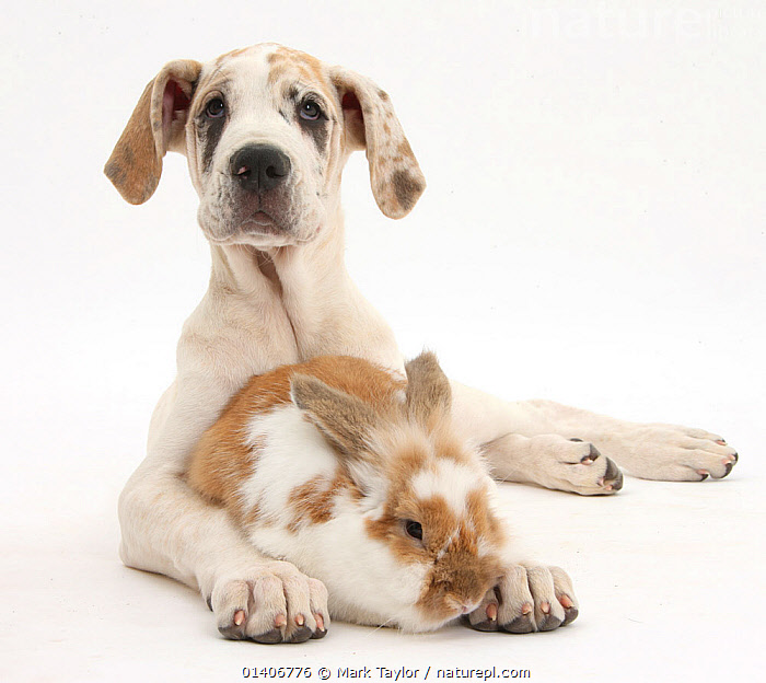 Great Dane puppy, Tia, 14 weeks, with brown and white rabbit. NOT AVAILABLE FOR BOOK USE  ,  BABIES,Canidae,CUTE,CUTOUT,DOGS,extra large dogs,FRIENDS,lagomorphs,lepidae,MIXED SPECIES,PETS,PORTRAITS,RABBITS,Studio,two,VERTEBRATES,WHITE,white background,working dogs,Mammals,Canids  ,  Mark Taylor