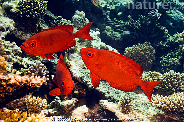 Big-eye or Goggle-eye (Priacanthus hamrur) on coral reef. Egypt, Red Sea.  ,  BIGEYES, CORAL-REEFS, CORALS, Egypt, FISH, INDIAN-OCEAN, MARINE, OSTEICHTHYES, RED-SEA, TROPICAL, UNDERWATER, VERTEBRATES  ,  Georgette Douwma