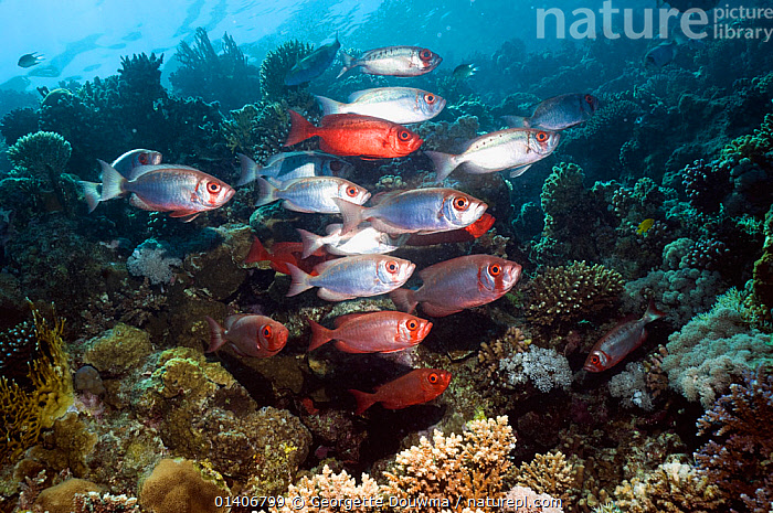 Big-eye or Goggle-eye (Priacanthus hamrur) on coral reef. Egypt, Red Sea.  ,  BIGEYES, CORAL-REEFS, CORALS, Egypt, FISH, GROUPS, HABITAT, INDIAN-OCEAN, MARINE, OSTEICHTHYES, RED-SEA, TROPICAL, UNDERWATER, VERTEBRATES,NORTH-AFRICA,Africa  ,  Georgette Douwma