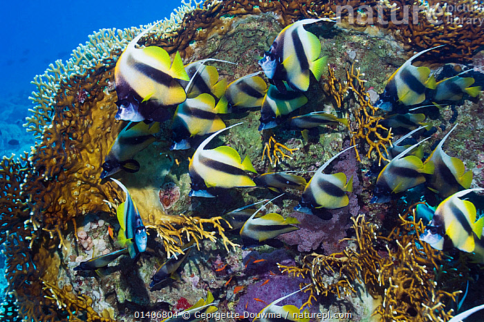 Red Sea bannerfish (Heniochus intermedius) sheltering behind fire coral (Millepora dichotoma). Egypt, Red Sea. Species endemic to the Redsea.  ,  BUTTERFLYFISH,CORALS,EGYPT,FISH,INDIAN OCEAN,MARINE,OSTEICHTHYES,RED SEA,TROPICAL,UNDERWATER,VERTEBRATES  ,  Georgette Douwma