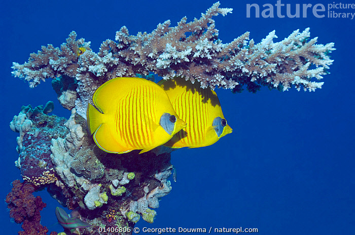 Masked butterflyfish (Chaetodon semilarvatus) with acropora coral. Egypt, Red Sea. Red Sea endemic.  ,  BUTTERFLYFISH,CORALS,EGYPT,FISH,INDIAN OCEAN,MARINE,OSTEICHTHYES,RED SEA,TROPICAL,UNDERWATER,VERTEBRATES,NORTH-AFRICA,Africa,Catalogue5  ,  Georgette Douwma