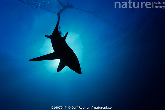 Common Thresher Shark (Alopias vulpinus) silhouette of one caught in gill net, Huatabampo, Mexico, Sea of Cortez, Pacific Ocean, ALOPIIDAE,CENTRAL AMERICA,CHONDRICHTHYES,COMMERCIAL,COPYSPACE,DEATH,DECLINE,ENDANGERED,ENVIRONMENTAL,FINNING,FINS,FISH,FISHING,HUNTING FOOD,MARINE,MEXICO,NETS,NON SUSTAINABLE,OCEAN,OVERFISHING,PACIFIC,PACIFIC OCEAN,PEOPLE,SHARKS,SILHOUETTES,SUNLIGHT,TROPICAL,UNDERWATER,VERTEBRATES,VULNERABLE,CENTRAL-AMERICA, Jeff Rotman