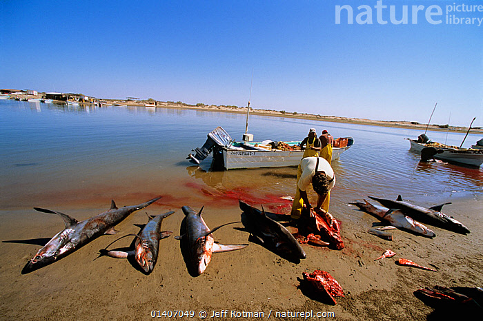 Common Thresher Sharks (Alopias vulpinus) dead animals being cleaned by gill net fishermen on shore, Huatabampo, Mexico, Sea of Cortez, Pacific Ocean. Model released. May 2008. Model released.  ,  ALOPIIDAE,BEACHES,BOATS,CARCASSES,CENTRAL AMERICA,CHONDRICHTHYES,CLEANING,COMMERCIAL,DEATH,ENDANGERED,ENVIRONMENTAL,FINNING,FINS,FISH,FISHING,HUNTING FOOD,LANDSCAPES,MARINE,MEXICO,NETS,NON SUSTAINABLE,OCEAN,OVERFISHING,PACIFIC,PACIFIC OCEAN,PEOPLE,SHARKS,SHORELINE,TROPICAL,VERTEBRATES,VULNERABLE,CENTRAL-AMERICA  ,  Jeff Rotman