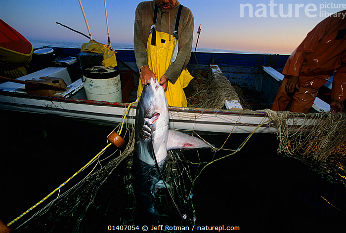 Common Thresher Shark (Alopias vulpinus) caught on gill net being hauled up onto boat, Huatabampo, Mexico, Sea of Cortez, Pacific Ocean Model released.  ,  ALOPIIDAE,BOATS,BODY,CARCASS,CENTRAL AMERICA,CHONDRICHTHYES,COMMERCIAL,DEATH,ENDANGERED,ENVIRONMENTAL,EVENING,FINS,FISH,FISHERMEN,FISHING,HUNTING FOOD,MARINE,MEXICO,NETS,NON SUSTAINABLE,OCEAN,OVERFISHING,PACIFIC,PACIFIC OCEAN,PEOPLE,SHARKS,SUNSET,SURFACE,TROPICAL,VERTEBRATES,VULNERABLE,CENTRAL-AMERICA  ,  Jeff Rotman