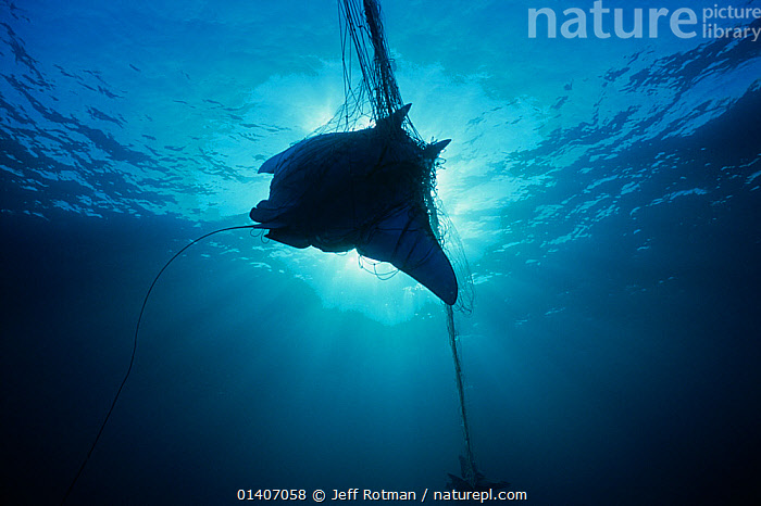 Manta Ray (Manta birostris) caught in gill net, silhouetted against sunlight, Huatabampo, Mexico, Sea of Cortez, Pacific Ocean  ,  CENTRAL AMERICA,CHONDRICHTHYES,COMMERCIAL,DEATH,ENVIRONMENTAL,FISH,FISHING,INDUSTRY,MARINE,MEXICO,NETS,NON SUSTAINABLE,OUTLINE,OVERFISHED,OVERFISHING,PACIFIC,PACIFIC OCEAN,PEOPLE,RAYS,SILHOUETTES,SUNLIGHT,TROPICAL,UNDERWATER,VERTEBRATES,CENTRAL-AMERICA  ,  Jeff Rotman