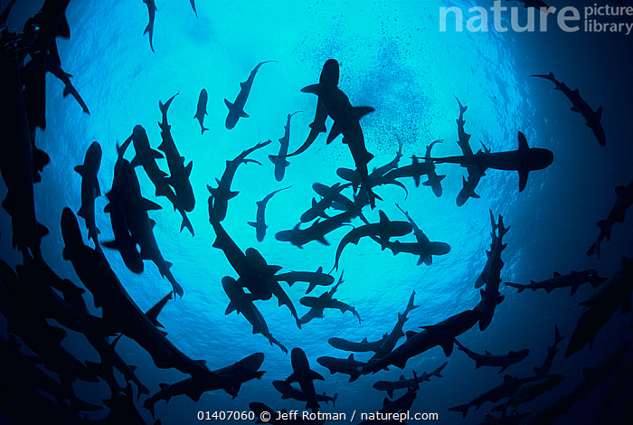 Whitetip reef sharks (Triaenodon obesus) pack silhouetted following scent trail in water column, Cocos Island, Costa Rica, Pacific Ocean, backlit,BEHAVIOUR,BLACK,BLUE,bright colour,CARCHARHINIDAE,catalogue5,CENTRAL AMERICA,CHONDRICHTHYES,Cocos Island,confusion,costa rica,FISH,GROUPS,HUNTING,indecision,large group of people,low angle view,MARINE,Nobody,PACIFIC,pacific ocean,PACIFIC OCEAN,packs,sea,SHARKS,SILHOUETTES,SWIMMING,TROPICAL,UNDERWATER,VERTEBRATES,water column,CENTRAL-AMERICA, Jeff Rotman