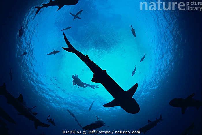 Whitetip reef sharks (Triaenodon obesus) pack silhouetted following scent trail in water column, Cocos Island, Costa Rica, Pacific Ocean. Model released. May 2009.  ,  BEHAVIOUR,CARCHARHINIDAE,CENTRAL AMERICA,CHONDRICHTHYES,FISH,GROUPS,MARINE,PACIFIC,PACIFIC OCEAN,PACKS,SHARKS,SHOALS,SILHOUETTES,SWIMMING,TROPICAL,UNDERWATER,VERTEBRATES,CENTRAL-AMERICA  ,  Jeff Rotman