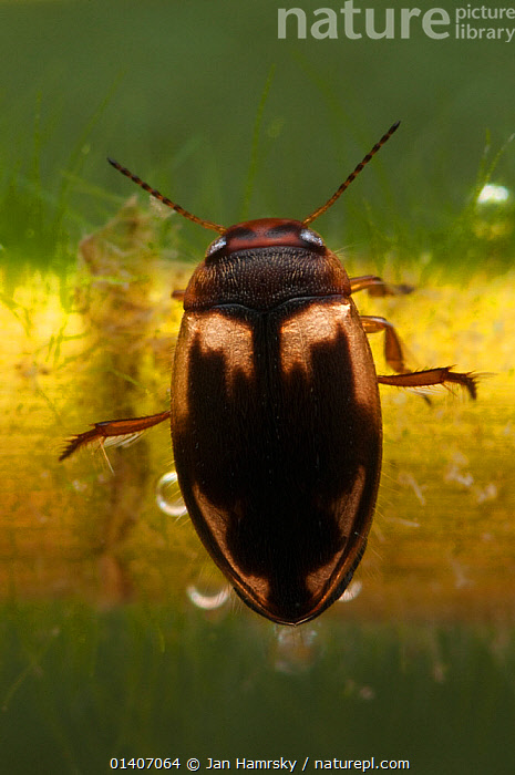 Diving beetle (Hydroporus palustris),resting on the plant stem, Europe, April, controlled conditions  ,  AQUATIC,ARTHROPODS,COLEOPTERA,DIVING BEETLES,EUROPE,FRESHWATER,INVERTEBRATES,TEMPERATE,UNDERWATER,WATER BEETLES  ,  Jan Hamrsky