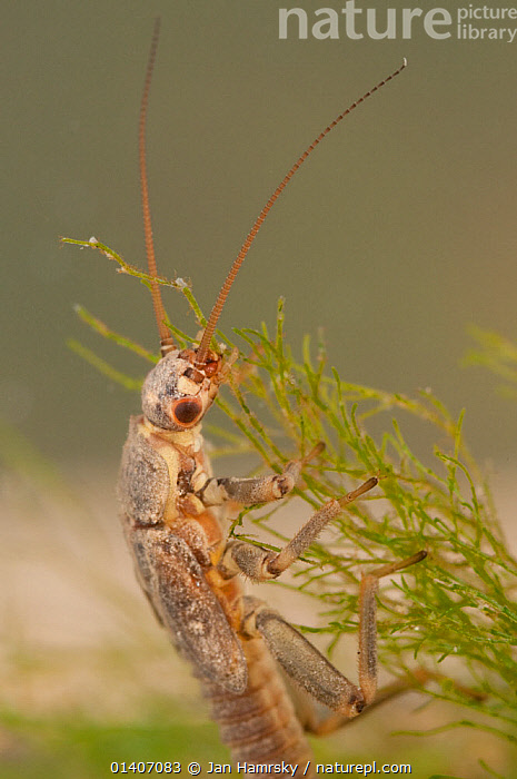 Stonefly nymph (Plecoptera), grazing algae, Europe, April, controlled conditions  ,  AQUATIC,ARTHROPODS,EUROPE,FEEDING,FRESHWATER,INSECTS,INVERTEBRATES,JUVENILE,PLECOPTERA,STONEFLIES,TEMPERATE,TROPICAL,UNDERWATER,VERTICAL  ,  Jan Hamrsky