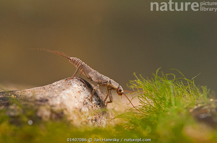 Stonefly nymph (Plecoptera) resting on the stones at the bottom, Europe, April, controlled conditions  ,  AQUATIC,ARTHROPODS,EUROPE,FRESHWATER,INSECTS,INVERTEBRATES,JUVENILE,NYMPH,PLECOPTERA,STONEFLIES,TEMPERATE,UNDERWATER  ,  Jan Hamrsky