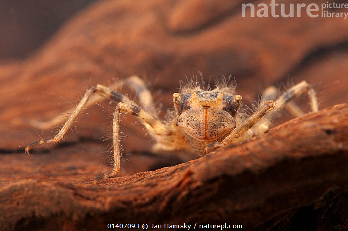 Emerald dragonfly nymph (Corduliidae), hiding in roots, Europe, May, controlled conditions  ,  AQUATIC,ARTHROPODS,DRAGONFLIES,DRAGONFLY,EUROPE,FRESHWATER,INSECTS,INVERTEBRATES,JUVENILE,ODONATA,TEMPERATE,UNDERWATER  ,  Jan Hamrsky