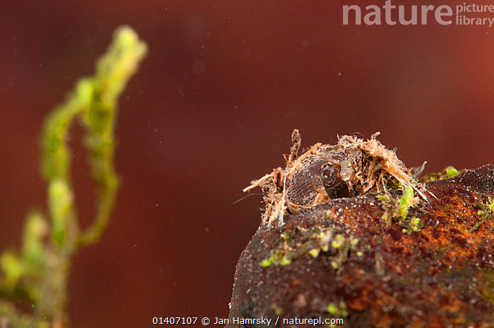 Net-spinning caddisfly larva (Trichoptera, Hydropsychidae) in its shelter attached to the stones at the bottom, Europe, May, controlled conditions  ,  AQUATIC,CADDIS FLIES,EUROPE,FRESHWATER,INSECTS,INVERTEBRATES,JUVENILE,TEMPERATE,TRICHOPTERA,UNDERWATER,Diptera  ,  Jan Hamrsky