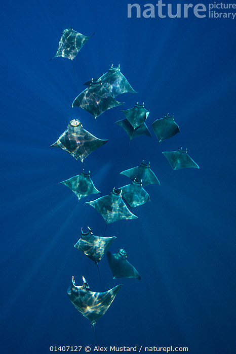 A school of lesser devil rays (Mobula hypostoma) flying through sunbeams as they feed. Isla Mujeres, Quintana Roo, Yucatan Peninsula, Mexico. Caribbean Sea.  ,  ATLANTIC OCEAN,beauty in nature,blue background,CARIBBEAN,catalogue5,Chondricthyes,CLOSE UPS,ELASMOBRANCHII,ELASMOBRANCHS,FEEDING,FISH,GROUPS,Isla Mujeres,magical,MARINE,medium group of animals,MEXICO,Nobody,pennisula,Quintana Roo,RAYS,safety in numbers,sea,SEALIFE,SHOAL,silver,sunlight,TROPICAL,UNDERWATER,VERTEBRATES,VERTICAL,WATER,Yucatan,West Indies,CENTRAL-AMERICA  ,  Alex Mustard
