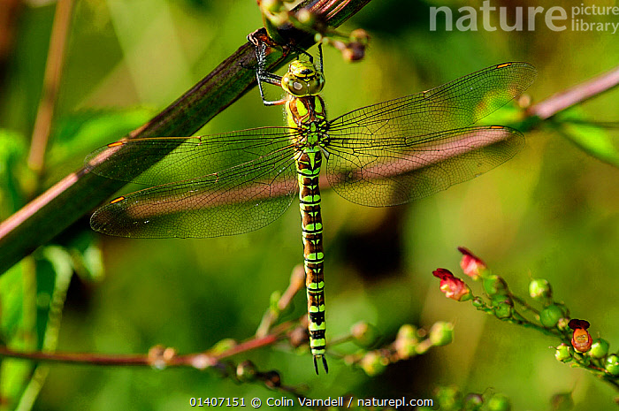 Southern hawker (Aeshna cyanea) female at rest, Dorset, UK August  ,  ARTHROPODS,DRAGONFLIES,ENGLAND,EUROPE,FEMALES,INSECTS,INVERTEBRATES,ODONATA,PORTRAITS,RESTING,SUMMER,UK,United Kingdom  ,  Colin Varndell