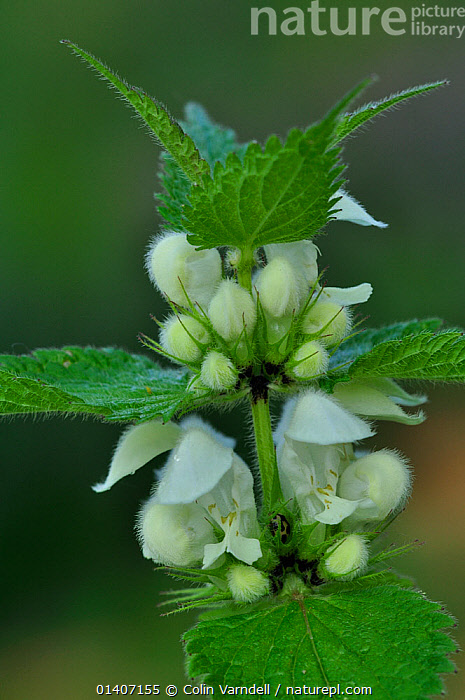 White Dead Nettle / Deadnettle (Lamium album) UK April  ,  CLOSE UPS,DEAD NETTLE,DICOTYLEDONS,EUROPE,FLOWERING,FLOWERS,LAMIACEAE,LAMIUM,PLANTS,SPRING,UK,VERTICAL,United Kingdom  ,  Colin Varndell