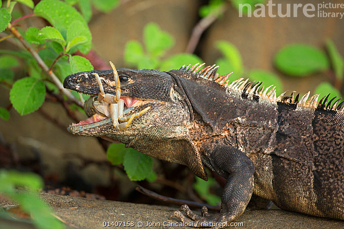 Black tailed spiny iguana ( Ctenosaura similis) swallowing crab, Murcielago Island, Santa Rosa National Park, Costa Rica. Sequence 3 of 6  ,  ARTHROPODS,BLACK IGUANA,COSTA RICA,CRABS,CRUSTACEANS,FEEDING,IGUANAS,LIZARDS,NP,REPTILES,RESERVE,SEQUENCE,SOUTH AMERICA,VERTEBRATES,Invertebrates,National Park,,Lizards,,,Lizards,  ,  John Cancalosi