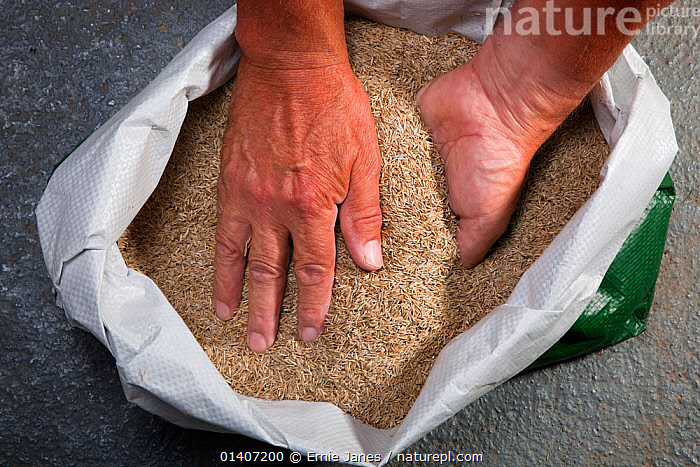 Grass seeds (Gramineae) sack of seeds about to be scattered by gardener, Norfolk, UK August  ,  DOMESTIC,ENGLAND,EUROPE,GARDENING,GARDENS,GRAMINEAE,GRASS,GRASSES,HANDS,HORTICULTURE,LAWN,MONOCOTYLEDONS,NORFOLK,PEOPLE,POACEAE,SEEDS,TRUE GRASSES,UK,Plants,United Kingdom  ,  Ernie Janes
