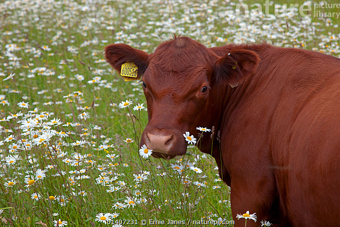 Redpoll cattle in meadow full of flowers, Norfolk, UK  ,  ARTIODACTYLA,BOVIDAE,BREEDS,CATTLE,COW,COWS,ENGLAND,EUROPE,FARMING,FLOWERS,LIVESTOCK,MAMMALS,NORFOLK,PORTRAITS,RARE,RARE BREEDS,SUMMER,UK,VERTEBRATES,United Kingdom  ,  Ernie Janes