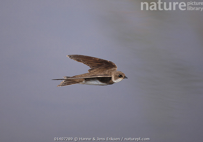 Sand martin (Riparia riparia) in flight, Oman, September  ,  ARABIA,BIRDS,COPYSPACE,FLIGHT,FLYING,HIRUNDINIDAE,MARTINS,MIDDLE EAST,OMAN,SONGBIRDS,VERTEBRATES,Swallows  ,  Hanne & Jens Eriksen