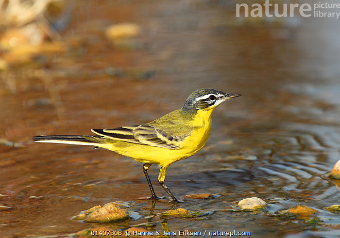 Sykes's wagtail (Motacilla flava beema) at water, Oman, February  ,  ARABIA,BIRDS,DRINKING,MIDDLE EAST,MOTACILLIDAE,OMAN,PORTRAITS,PROFILE,SONGBIRDS,VERTEBRATES,WAGTAILS,WATER  ,  Hanne & Jens Eriksen
