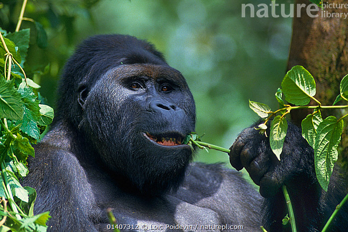 Mountain gorilla (Gorilla beringei beringei) dominant silverback male eating leaves, Virunga National Park, Democratic Republic of Congo  ,  AFRICA,CENTRAL AFRICA,DOMINANCE,ENDANGERED,FACES,FEEDING,GREAT APES,HEADS,HOMINIDAE,LEAVES,MALES,MAMMALS,NATIONAL PARK,NP,PLANTS,PONGIDAE,PORTRAITS,PRIMATES,RESERVE,VERTEBRATES  ,  Loic Poidevin
