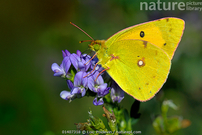 Clouded yellow butterfly (Colias crocea) feeding at flower, Vendee, West France  ,  ARTHROPODS,BUTTERFLIES,EUROPE,FEEDING,FLOWERS,FRANCE,INSECTS,INVERTEBRATES,LEPIDOPTERA,PORTRAITS,PROFILE  ,  Loic Poidevin