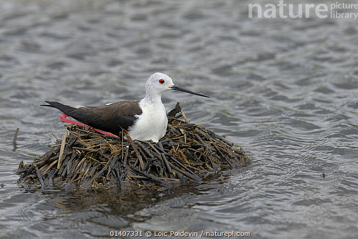 Black winged stilt (Himantopus himantopus) sitting on its nest surrounded by water, Breton Marsh, West France, June  ,  BIRDS,BREEDING,BROODING,EUROPE,FRANCE,MARSHES,NESTING BEHAVIOUR,NESTS,PARENTAL,REPRODUCTION,STILTS,VERTEBRATES,WADERS,WATER,WETLANDS  ,  Loic Poidevin