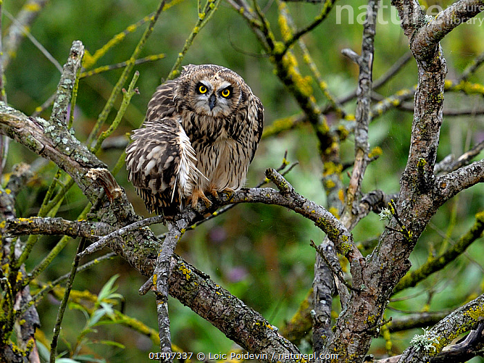 Short eared owl (Asio flammeus) preening on branch, Breton Marsh, West France, July  ,  BIRDS,BIRDS OF PREY,CLEANING,EUROPE,FRANCE,GROOMING,OWLS,PREENING,STRIGIDAE,VERTEBRATES,Raptor  ,  Loic Poidevin