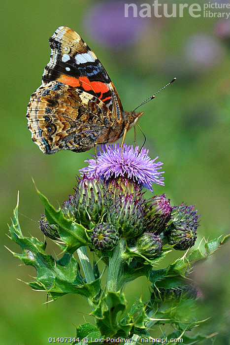 Painted lady butterfly (Vanessa cardui) feeding on Thistle flowers, North Germany, June  ,  ARTHROPODS, BUTTERFLIES, EUROPE, FEEDING, FLOWERS, GERMANY, INSECTS, INVERTEBRATES, LEPIDOPTERA, PORTRAITS, PROFILE, VERTICAL  ,  Loic Poidevin
