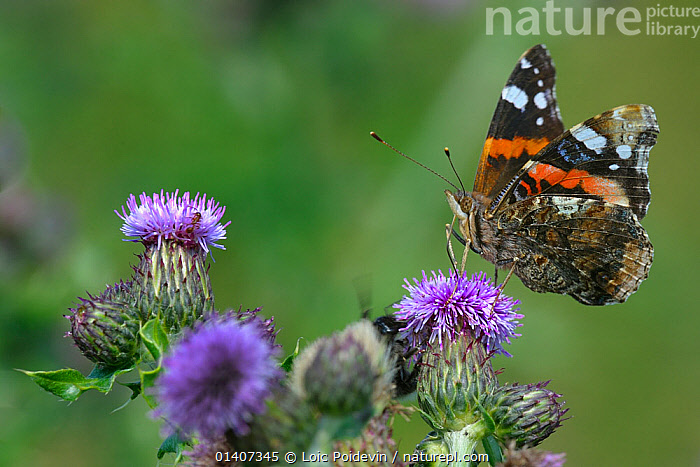 Painted lady butterfly (Vanessa cardui) feeding on Thistle flowers, North Germany, June  ,  ARTHROPODS, BUTTERFLIES, EUROPE, FEEDING, FLOWERS, GERMANY, INSECTS, INVERTEBRATES, LEPIDOPTERA, PROFILE  ,  Loic Poidevin