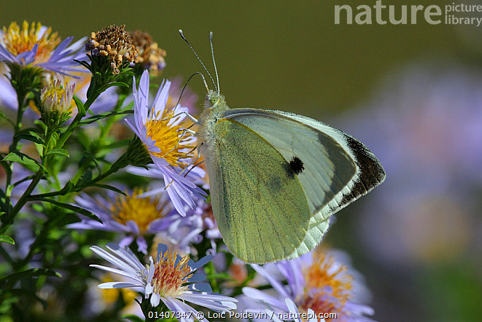 Small white butterfly (Pieris rapae) on Aster flowers, Vendee, West France, ARTHROPODS,BUTTERFLIES,CABBAGE WHITE,EUROPE,FEEDING,FLOWERS,FRANCE,INSECTS,INVERTEBRATES,LEPIDOPTERA, Loic Poidevin