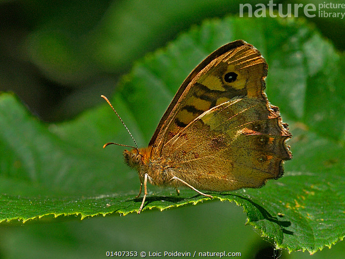 Speckled wood butterfly (Pararge aegeria) on a leaf, Vendee, West France  ,  ARTHROPODS,BUTTERFLIES,EUROPE,FRANCE,INSECTS,INVERTEBRATES,LEPIDOPTERA,PORTRAITS,PROFILE  ,  Loic Poidevin