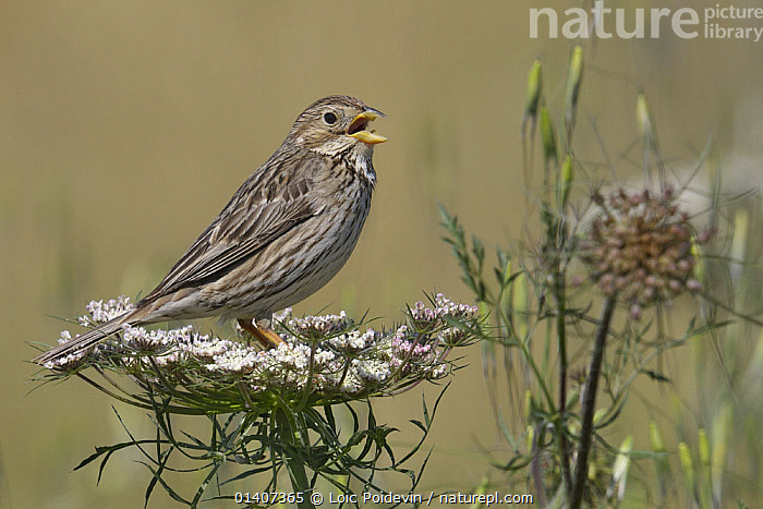 Corn bunting (Emberiza calandra) singing whilst perched on flower, Extremadura, Spain, July  ,  BIRDS,BUNTINGS,CALLING,COMMUNICATION,EMBERIZIDAE,EUROPE,PORTRAITS,PROFILE,SINGING,SONGBIRDS,SPAIN,VERTEBRATES,VOCALISATION  ,  Loic Poidevin