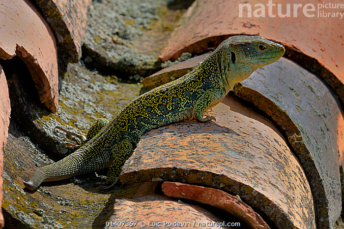 Ocellated lizard (Lacerta lepida) on roof tile basking in sun, Extremadura, Spain  ,  Basking, BEHAVIOUR, BUILDINGS, estramadure, EUROPE, LIZARDS, PROFILE, REPTILES, roof, SPAIN, sunbathing, THERMOREGULATION, tiles, VERTEBRATES, warming  ,  Loic Poidevin