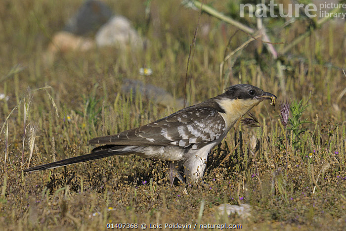 Great spotted cuckoo (Clamator glandarius) hunting for insects in grass, Extremadura, Spain, July  ,  BIRDS,CUCKOOS,EUROPE,GRASS,HUNTING,MARQUIS,PROFILE,SPAIN,VERTEBRATES,Plants  ,  Loic Poidevin