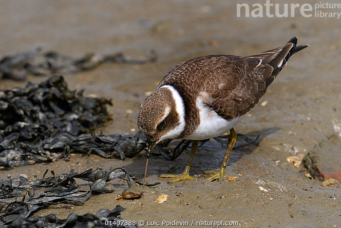Little ringed plover (Charadrius dubius) feeding on bloodworms along Atlantic Coast, Vendee, France, June  ,  BIRDS,CHARADRIIDAE,COASTS,EUROPE,FEEDING,FORAGING,FRANCE,LITTORAL,MARINE,PLOVERS,TIDAL,VERTEBRATES,WADERS,WATER,WORMS,Intertidal  ,  Loic Poidevin