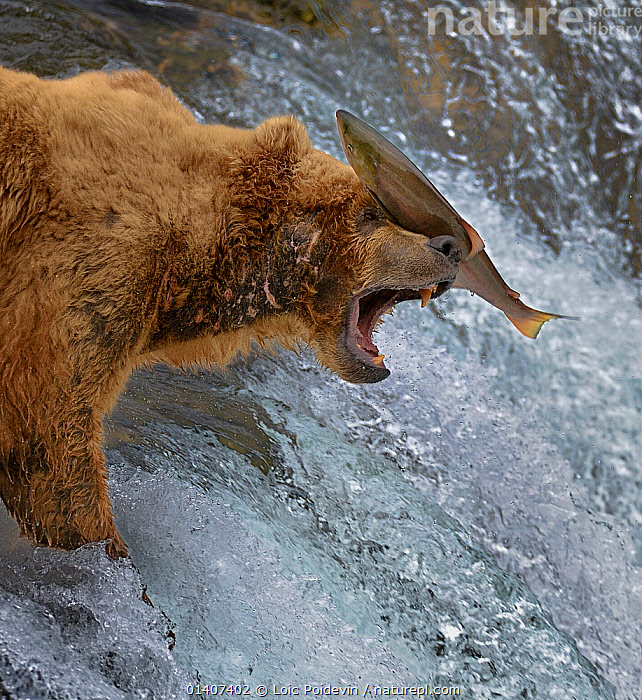 Salmon landing on  head of Grizzly bear (Ursus arctos horribilis) as it is leaping up rapids, Katmai National Park, Alaska, USA, ACTION,alaska,animals in the wild,BEARS,BEHAVIOUR,brown bear,CARNIVORES,catalogue5,CLOSE UPS,effort,FISH,FISHING,FRESHWATER,HEADS,HUNTING,JUMPING,Katmai,Katmai National Park,LANDING,LEAPING,MAMMALS,MIGRATION,misjudgement,miss,missing,MIXED SPECIES,national park,Nobody,NORTH AMERICA,NP,open mouth,outdoors,PROFILE,rapids,RESERVE,river,SALMON,side view,SQUARE ,two animals,Ursidae,USA,VERTEBRATES,VERTICAL,WATER,WILDLIFE, Loic Poidevin