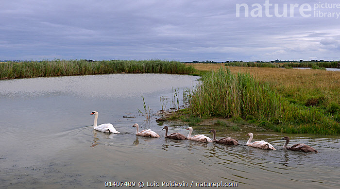 Mute swan (Cygnus olor) family, swimming in marshes of Breton Marsh, West France, July  ,  ADULTS,ANATIDAE,BIRDS,CHICKS,EUROPE,FAMILIES,FRANCE,GROUPS,JUVENILE,MARSHES,MARSHLAND,SWANS,SWIMMING,VERTEBRATES,WATER,WATERFOWL,WETLANDS,YOUNG,Wildfowl  ,  Loic Poidevin