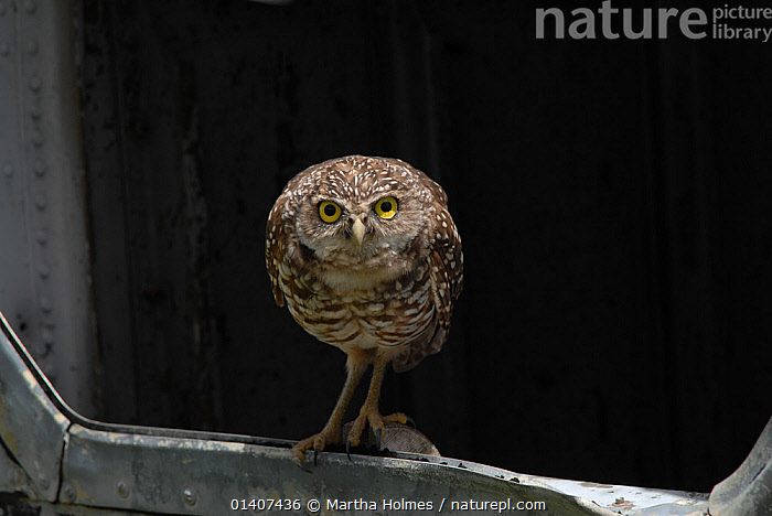 Burrowing owl (Athene cunicularia) living in a wrecked helicopter fuselage. Florida, USA. August 2008.  ,  ABANDONED,BIRDS,BIRDS OF PREY,DISUSED,NORTH AMERICA,OWLS,PORTRAITS,STRIGIDAE,USA,VERTEBRATES,Raptor  ,  Martha Holmes