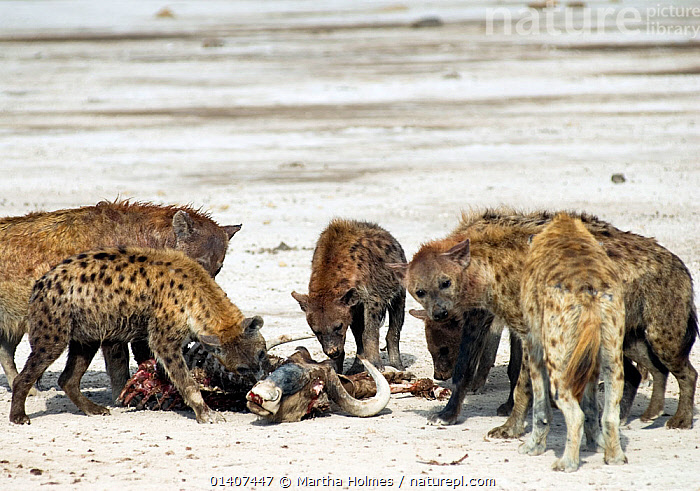 Spotted hyena pack (Crocuta crocuta) eating African buffalo (Syncerus caffer) carcass. Amboseli, Kenya. December 2007. Taken on location for BBC tv series 'Life'  ,  AFRICA,CARNIVORES,EAST AFRICA,FEEDING,GROUPS,HYAENAS,HYAENIDAE,MAMMALS,NP,PACKS,VERTEBRATES,National Park  ,  Martha Holmes